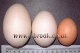 Aylesbury double yoker, single yoker and chicken egg